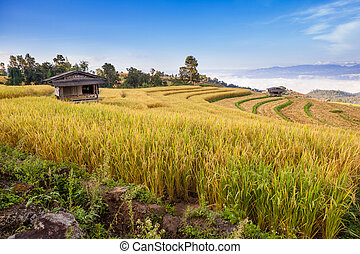 Yellow Terraced Rice Field in Chiangmai, Thailand