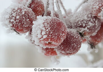 Red Crabapples in Winter - Crabapples in winter, covered in...