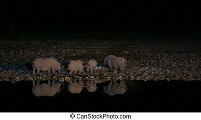 Group of Rhinos drinking water in waterhole - Side view of...