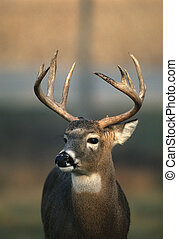 Nice Whitetailed Buck - close up view of a nice whitetailed...