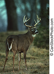 Whitetailed Buck in Clearing - a whitetail buck standing in...