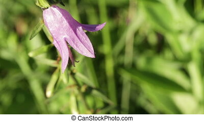 Flower Bluebell campanula - On background of green grass...