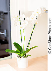 Orchid on kitchen countertop