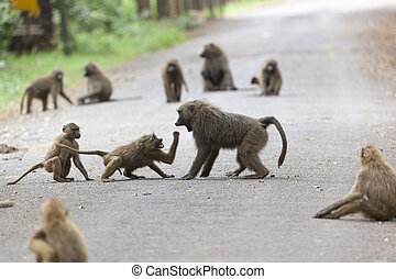 Baboons on road in Kenya - Some baboons fighting each other...