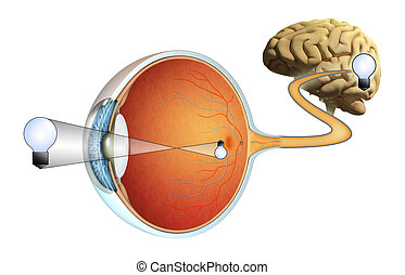Vision - How images are captured by our eyes and processed...