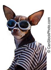 Funny Chihuahua with googles. - Funny Chihuahua with googles...