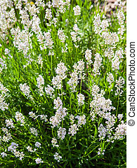 White flowering lavender - Garden view of the white lavender...