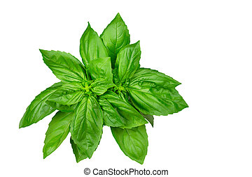 Basil herb bunch isolated on white - Fresh basil herb,...