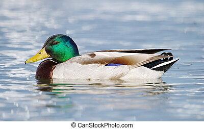 Mallard (anas platyrhynchos) duck