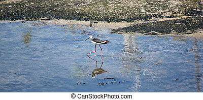 Black-winged Stilt (Himantopus himantopus). - Black-winged...
