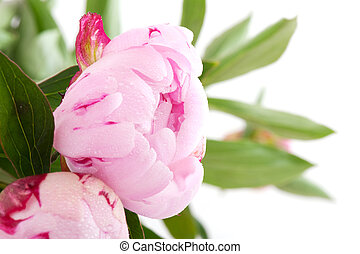 common peony - close up from common peony