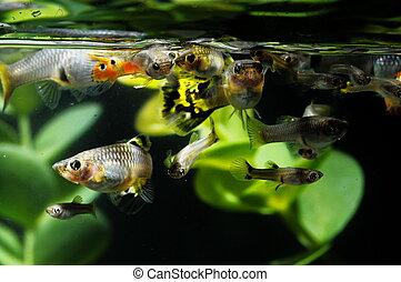 Guppy, Multi, colorido, peixe