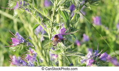 Bee on Purple wildflowers - Phacelia. Bee on purple...