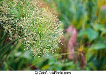 Sedge flower - Close up of sedge flower Cyperus imbricatus...