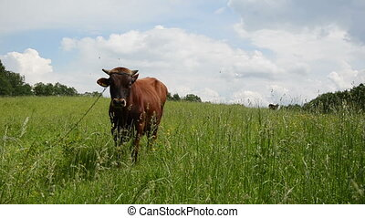 bull graze grass gadfly - brown bull graze in pasture meadow...