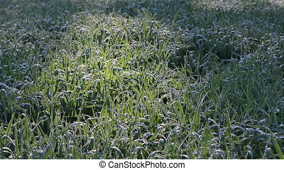 winter crop dew morning - winter crops plants covered with...
