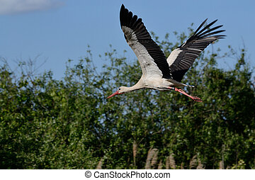 Storch im Anflug - Stork in flight