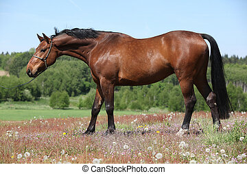 Nice brown horse with show halter, looking at you - Nice...