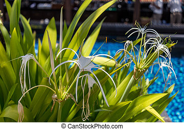 Beautiful spider lily, Hymenocallis littoralis - Beautiful...