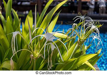 Beautiful spider lily, Hymenocallis littoralis - Beautiful...