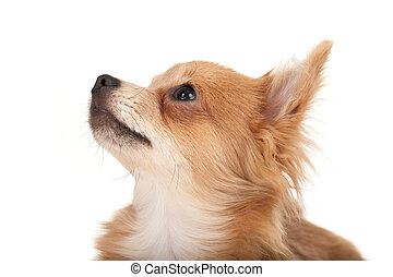 Long haired chihuahua puppy dog looking up in front of a...