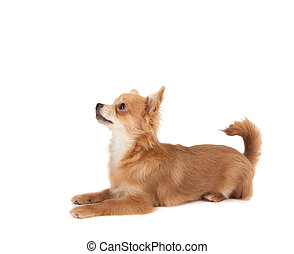 Long haired chihuahua puppy dog in front of a white...