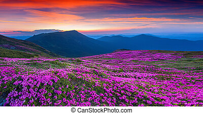 Magic pink rhododendron flowers on summer mountain....