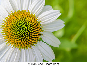White Coneflower - White cone flower on a green blurry leafy...