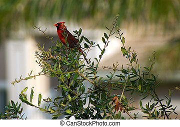 cardinal bird sitting on small tree - a red cardinal bird...