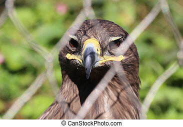 Young golden eagle Aquila chrysaetos close-up