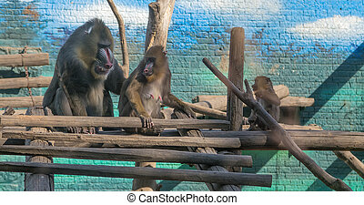 mandrill Mandrillus sphinx is a primate of the Old World...
