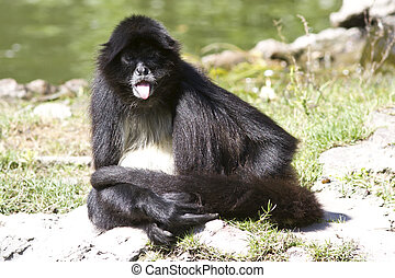 spider monkey that sits on the shore of a small lake and...