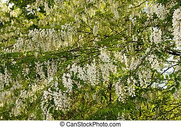 Acacia, flores, Italia, textura