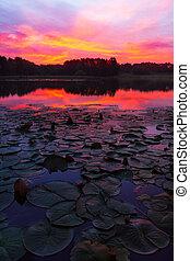 Lily Pads Sunrise - Lily pads on a lake outside of Kansas...