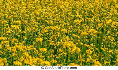Beautiful Yellow Oilseed Rape Flowers in the Field, closeup