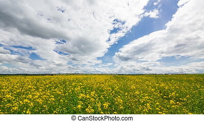Beautiful Yellow Oilseed Rape Flowers in the Field,...