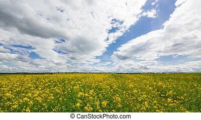 Beautiful Yellow Oilseed Rape Flowers in the Field