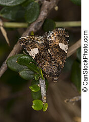 Four-spotted, Moth