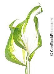 Hosta leaf isolated on white background