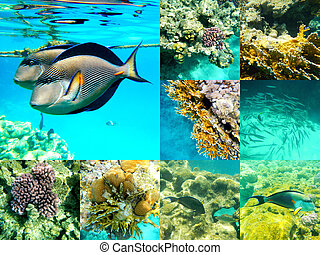 Coral and fish in the Red Sea, Egypt, Africa. - Coral and...