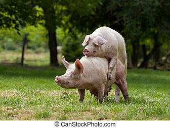 Pigs Mating - Pigs mating on farm trees in background