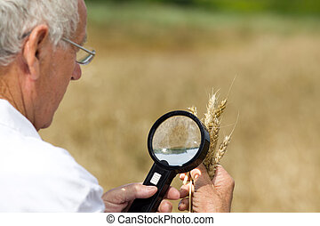 Agronomist analysing wheat ears - Old agronomist in white...