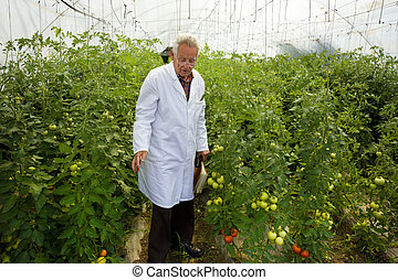 Agronomist in greenhouse - Agronomist examines tomato growth...