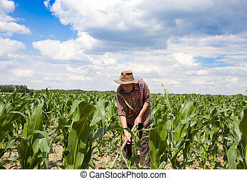 Weeding corn field with hoe - Old man with a hoe weeding in...