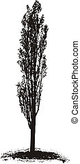 Poplar Tree - Black silhouette Poplar Tree on white...