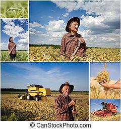 Cosechar, trigo, campo