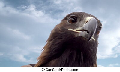 Bird of Prey Against the Sky - Head eagle on a background of...