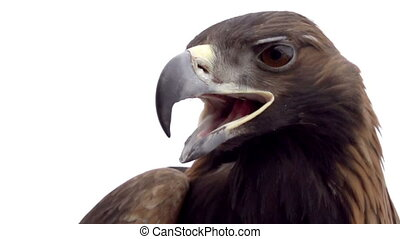 Golden Eagle on White Background - Eagle head close-up on...