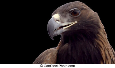 Golden eagle on a transparent backg - Eagle head close-up on...