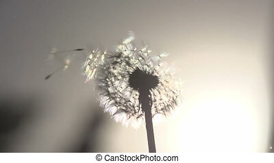 Blowing Dandelion Seeds - Flying dandelion seeds against the...